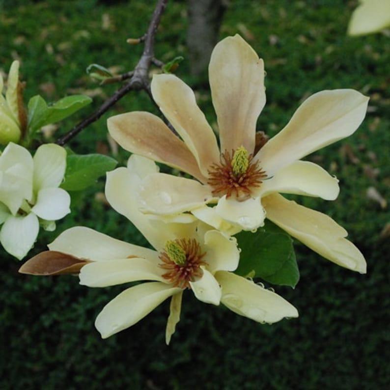 15 Organic Cucumber Magnolia Seeds Stunning Magnolia Etsy