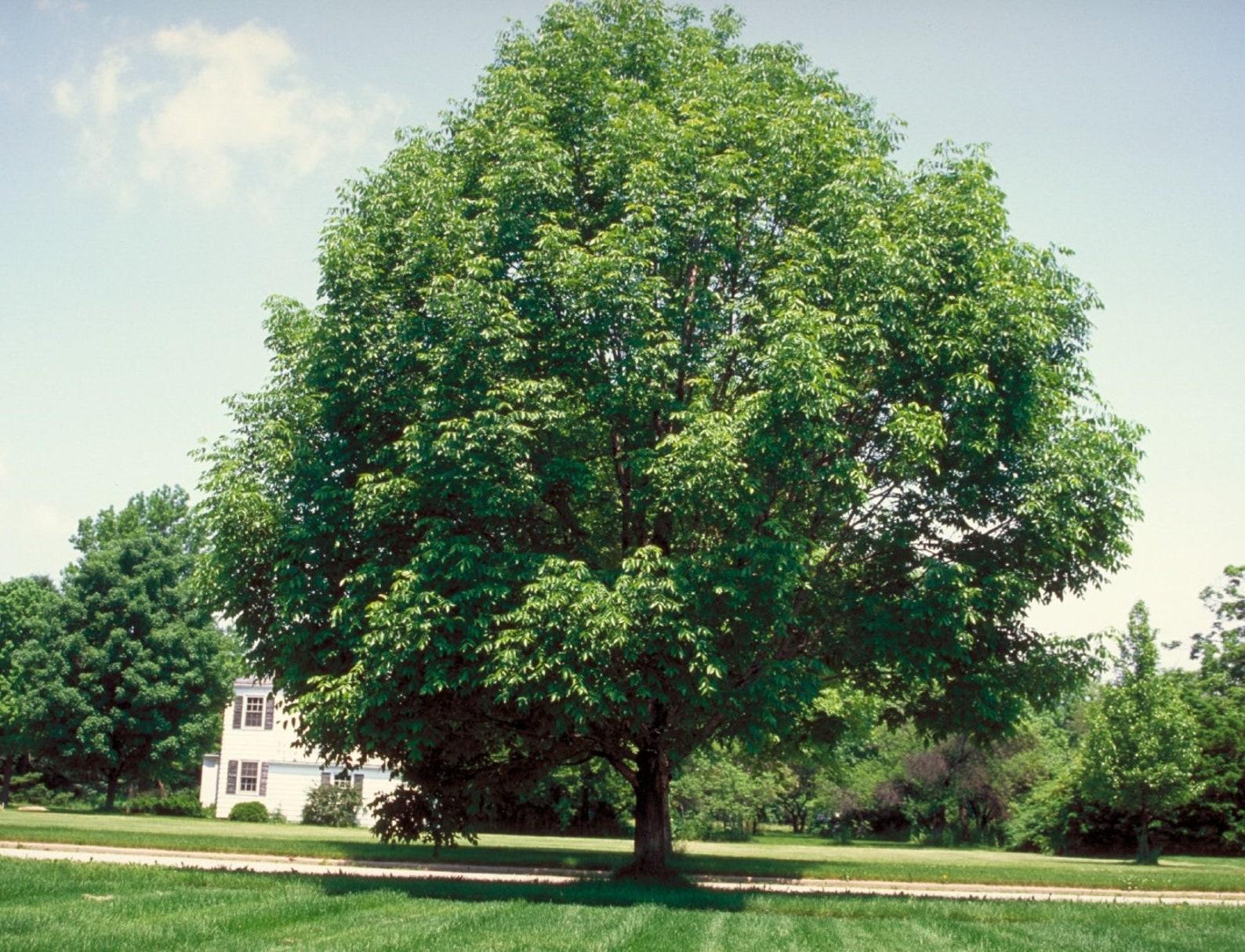 Картинки ясень дерево