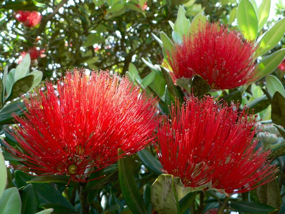 New Zealand Christmas Tree.New Zealand Christmas Tree Seeds 12 Seeds Dense Canopy Of Deep Red Flowers Grows Well In Most Usda Zones In The Usa Canada
