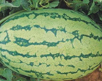 Organic Jubilee Watermelon Seeds - Large Elongated Shape, Heavier Than Most - 10 Seeds