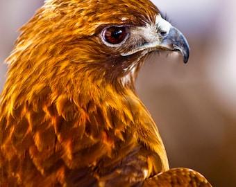 Closeup Profile Portrait of a Red Tail Hawk