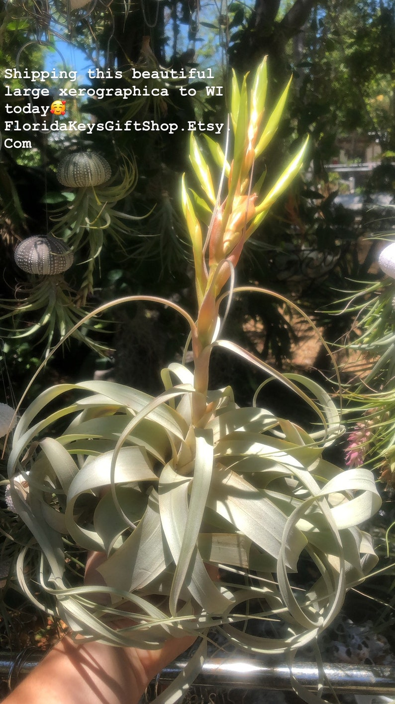 Jumbo sized large xerographica tillandsia Air Plant with long curly strands and large tri-color bloom Red orange and yellow bloom!em