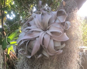 Large xerographica air plant/ eventually blooms large spiked tri-color bloom red/yellow/orange colors.