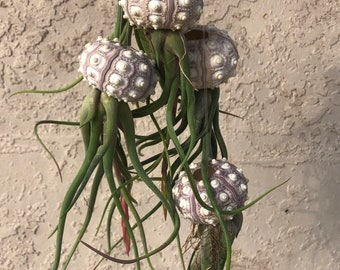 XL Blooming SOON/Curly air plant Sea Urchin Jellyfish! Deals at checkout! air plant/Sputnik sea urchin/caput medusae/decoration/Florida gift