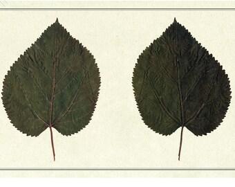 Ancient herbarium/Mourier d'espagne/FINE ART PRINT/Flowering Editions