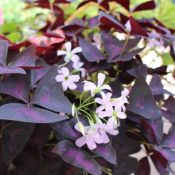 Oxalis Triangularis Brilliant Purple Leaves Pink Flowers Etsy