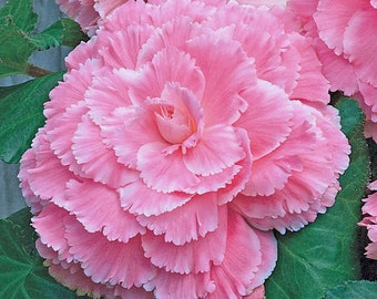 Begonia Picotee Lace Pink - Trio (3) of XL Bulbs