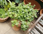 Fair Crassula Succulent Cuttings - Bright Green - Ground Cover or pots - shipping to NSW, Vic, Act, SA and Qld