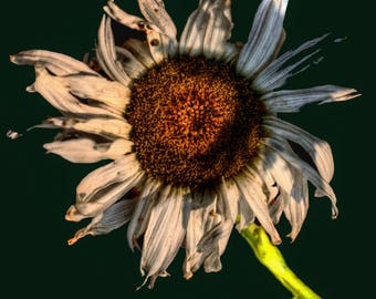 Dead Daisy Flower Photo Wall Art