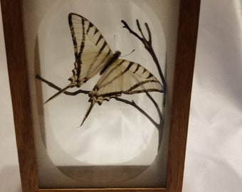Vintage swallowtail butterfly in a glass and wood frame