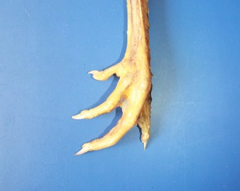 Decor Talisman BIG Natural Chicken Foot Charm Lucky Chicken Foot Protection Amulet Chicken Feet Taxidermy Bird Foot Wicca Costume