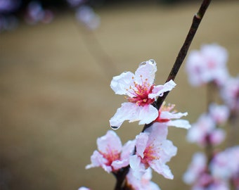 Cherry Blossoms in the Rain Fine Art Photography Print Home Wall Decor Spring Flowers