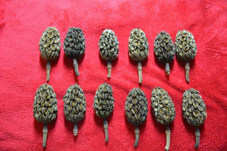 Magnolia Tree Seed Pods Etsy