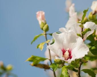 Hibiscus Syriacus Etsy