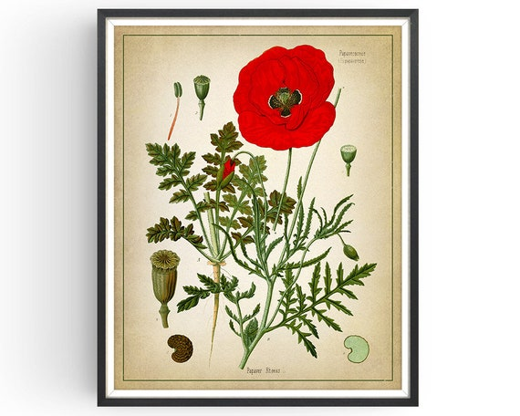 Field Poppy Botanical Print Flower Kitchen Decor Vintage Wall Art Poster Gift