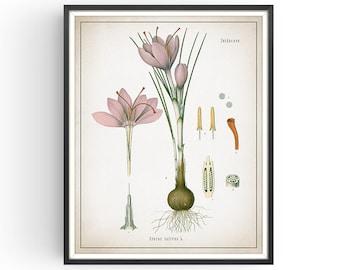 SAFFRON CROCUS - Botanical Print - Vintage Botanical - Saffron Spice - Medicinal Plant - Botany - Plant Decor - Kitchen Decor - Unframed