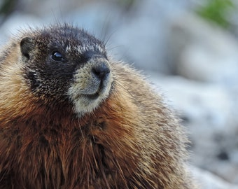 Wildlife/Nature Photography: Marmot