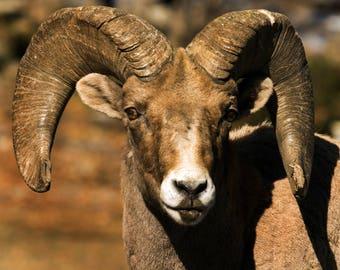Wildlife Photography - Colorado Ram - Big Horn Sheep
