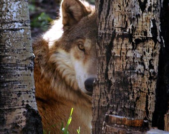 Wildlife Photography - Wolf - Colorado