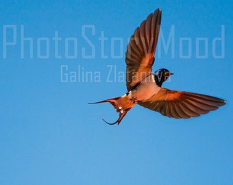 Bird Photography Animal photography Bird in flight Picture frame Blue sky Nature photography Spring Bird Swallow Home decor Swallow Photo