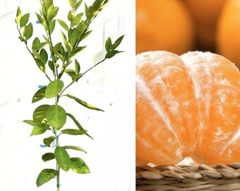 "Owari Satsuma Mandarin Orange Citrus Tree  36""-38"" Live Grafted Citrus Tree"