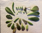Assortment of 6 Tender Succulent Cuttings Leaves