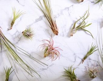 Air plants / Tilandsia (Medusae, ionantha, juncea, butzii)