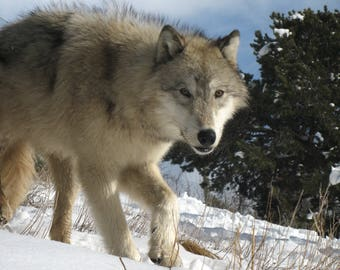 Wolf on a Winter Day