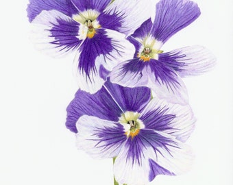 Pansy flowers purple and white counted cross stitch pattern