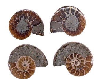 Cobble Creek: 3-Pack of Small Ammonite Pairs from Madagascar (10mm - 20 mm)