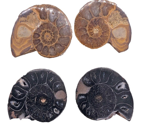 Cobble Creek: 3-Pack of Ammonite Pairs from Madagascar (20mm - 30mm)