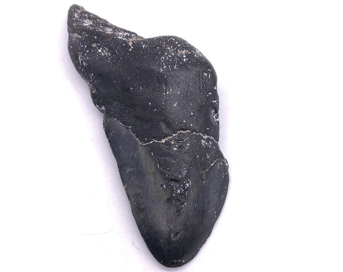 "Cobble Creek: 4.9""/124mm Megalodon Tooth Frag"