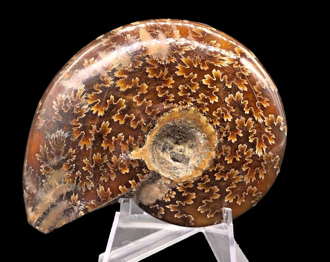 Cobble Creek:  Whole Polished Ammonite from Madagascar - 76 mm