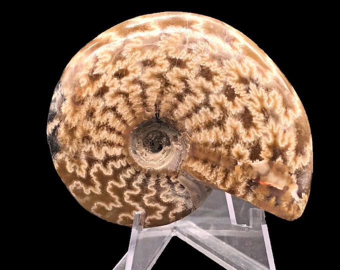 Cobble Creek: 66 mm Whole Polished Ammonite from Madagascar