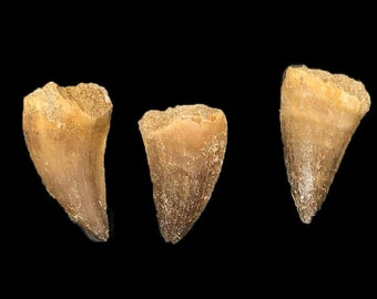 Mosasaur Teeth - 3 Pack