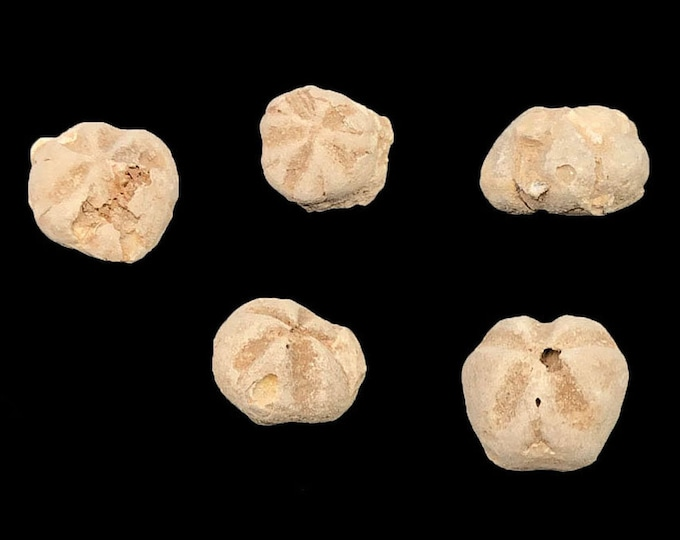 5 Fossilized Sea Urchins from Morocco