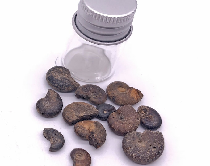 Cobble Creek: 1 Dozen Tiny Baby Ammonites in a Bottle - Natural Rough Fossils