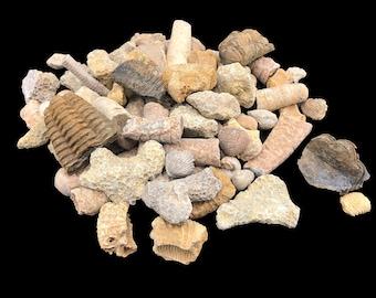 1 LB Cobble Creek Fossil Mix - Trilobites, Ammonites, Gastropods, Brachiopods, Natural - Raw - Real!