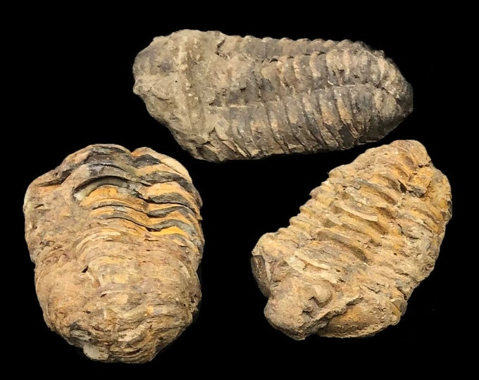 5 Small Trilobite Fossils - Trilobites from Morocco, North Africa