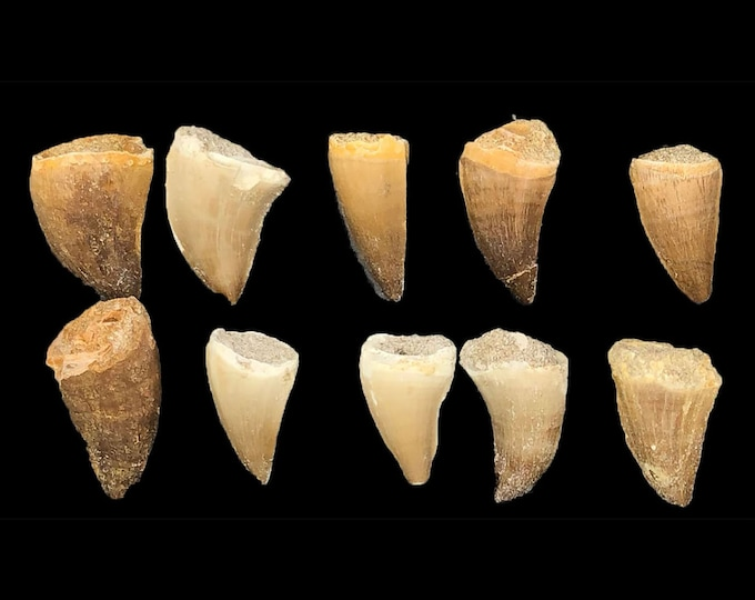 Mosasaur Teeth - 10 Pack
