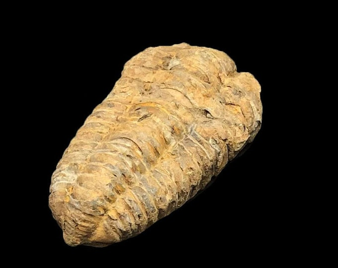 1 Small Trilobite Fossils - Trilobites from Morocco, North Africa