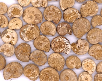 "Cobble Creek: 1 Small White Ammonites - Perisphinctes  sp. from Madagascar 1/2"" to 1"""