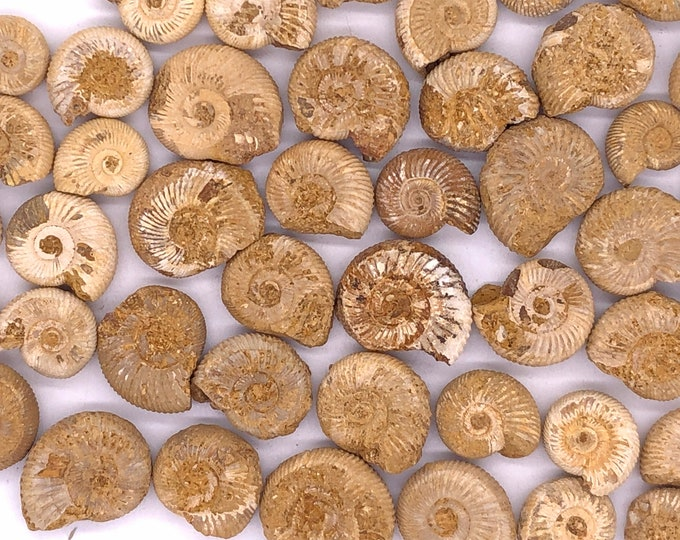 "Cobble Creek: 25 Pack of Small White Perisphinctes Ammonites from Madagascar 1/2"" to 1"""