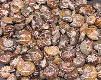 """Cobble Creek: 5 Pack of Polished Red Iridescent Flash Small Ammonites from Madagascar 1/2"""" to 1.5"""""""