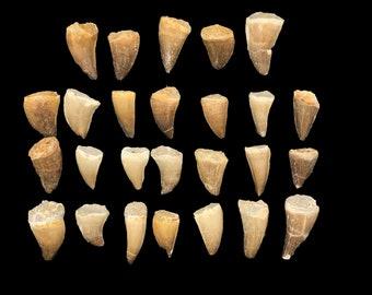 Mosasaur Teeth - 25 Pack