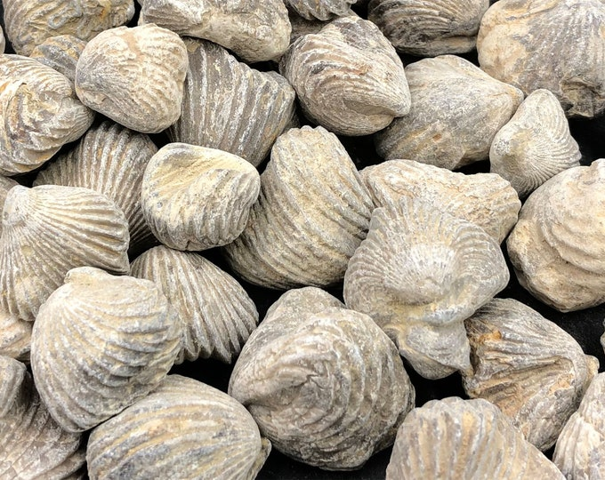 50 Fossilized Brachiopods from Morocco