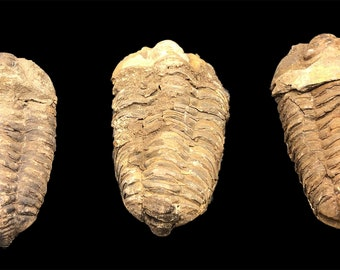 3 Large Trilobite Fossils - Trilobites from Morocco, North Africa