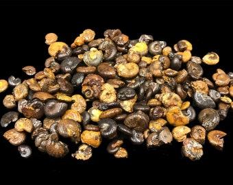 "Tiny Ammonites (4oz) from Morocco 1/4 to 1/2"""