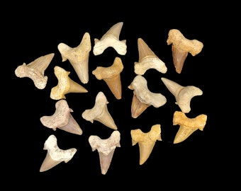 "1""-2"" Fossil Otodus Shark Teeth from Morocco - 5 Shark Teeth"