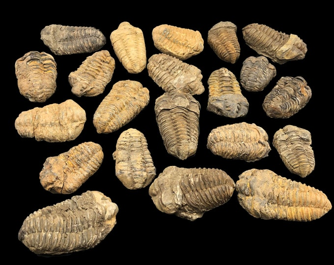 25 Small Trilobite Fossils - Trilobites from Morocco, North Africa